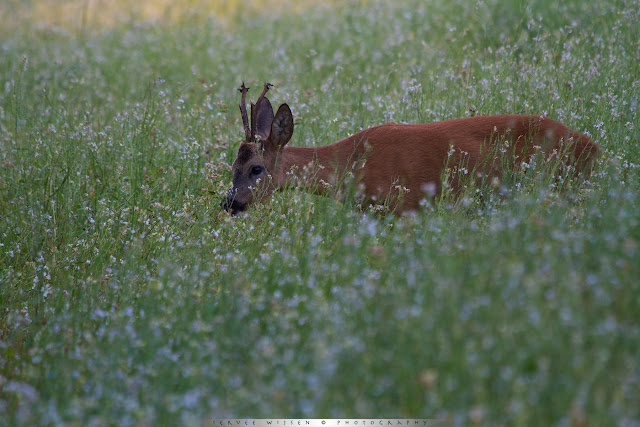Reebok in laatste licht op wilde radijs akker- Roe buck in last light at Wild Raddish flowefield - Capreolus capreolus