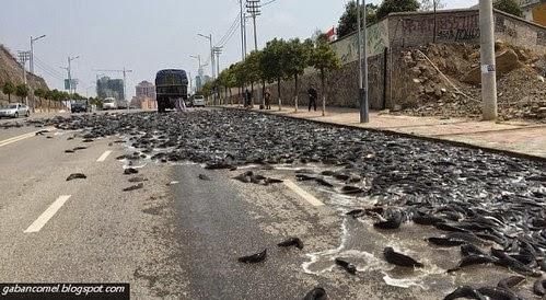 Pelik Ribuan Ikan Keli Membanjiri Jalan di China
