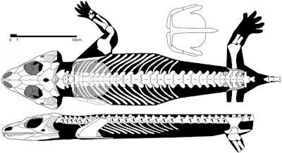 Macroleter skull