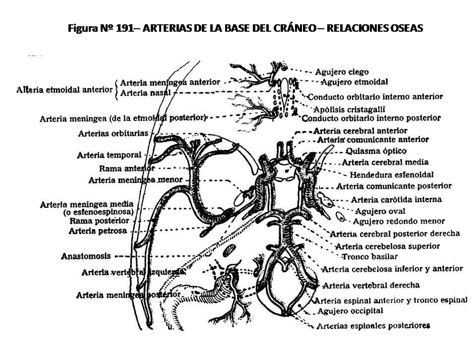 ATLAS DE ANATOMÍA HUMANA: 191. ARTERIAS DE LA BASE DEL CRÁNEO ...
