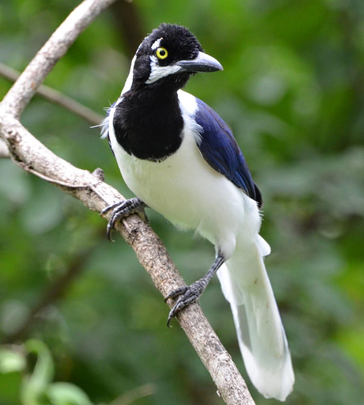 White-Tailed Jay Jorupe Reserve