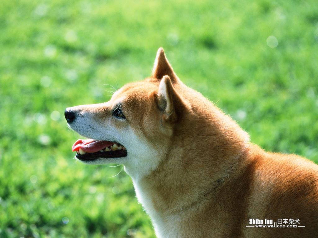 http://1.bp.blogspot.com/-SHWQSkYDqKs/TlD2uYHQtAI/AAAAAAAAAoU/ZzUbJ9WRD60/s1600/Shiba_Inu_dog_wallpaper_EA39053.jpg