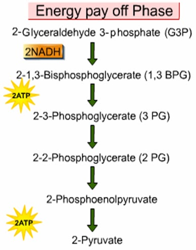 BIOLOGY FORM 6: Aerobic Respiration - Glycolysis