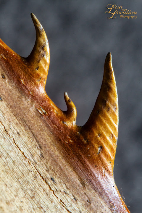 365 photo project, Mexican fan palm thorns, macro, Lisa On Location photography, New Braunfels, San Antonio, Austin