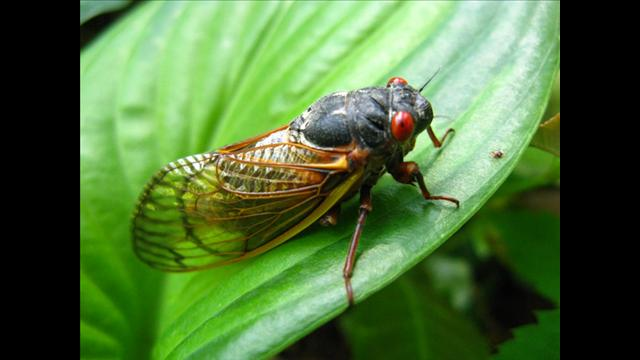 these cicadas emerge only once every 17 years on the East coast of the United States
