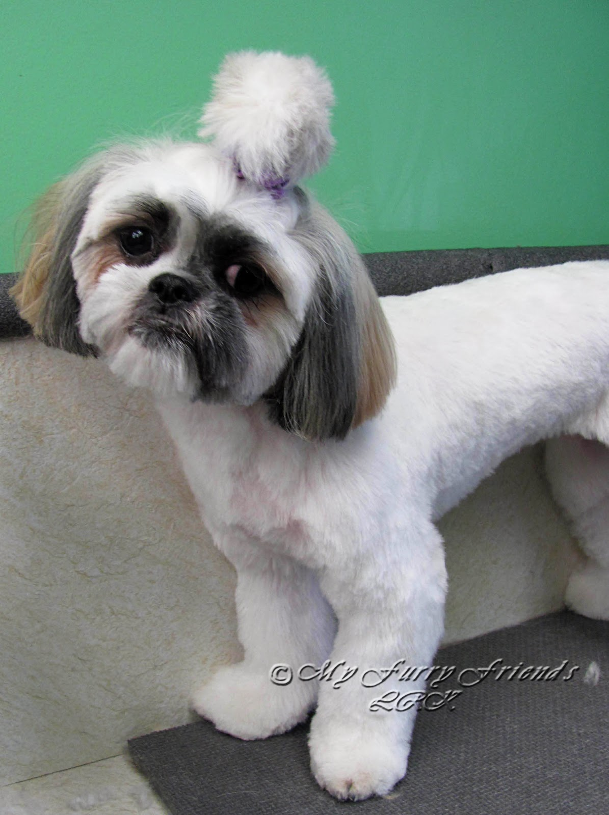Pet Grooming The Good The Bad The Furry Scissoring A Shih Tzu Head