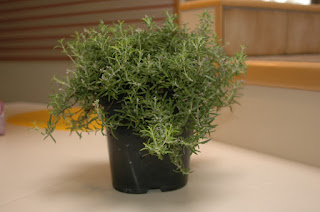 Creeping Rosemary 'Wilma's Gold'