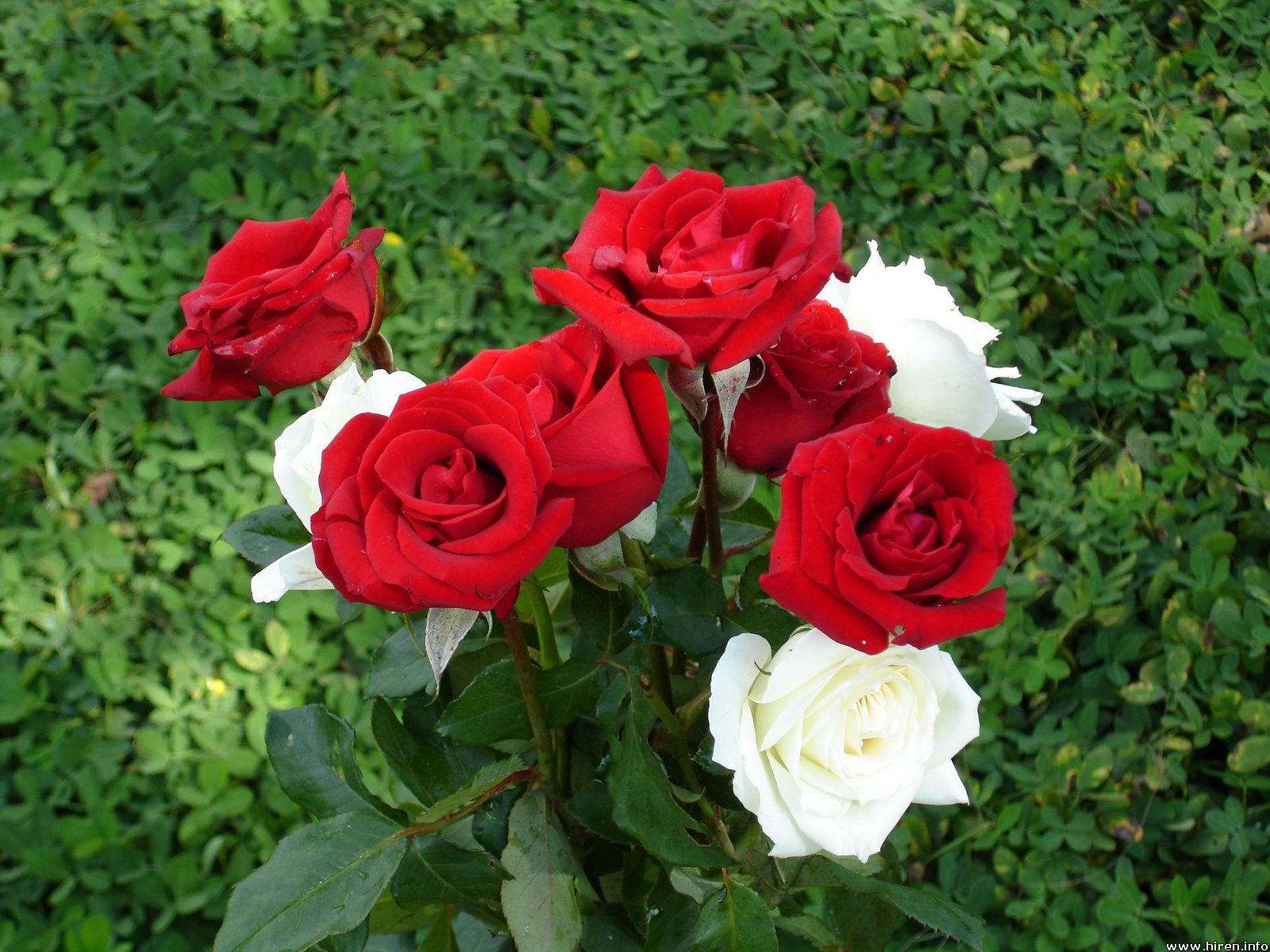 Rose Flower Loving A Prophet