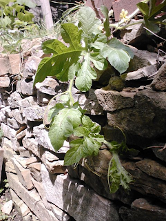 watermelon vine growing over retaining wall