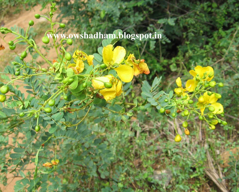 ஆவாரம் செடி - ஔசதம்
