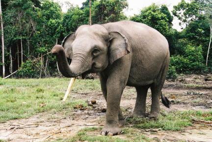 animal wildlife sumatran elephant the sumatran elephant is a sub    Sumatran Elephant