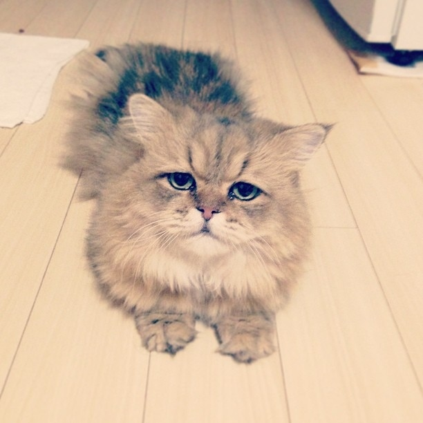 The Disappointed Cat is your new favorite cat (10 pics), Foo-Chan pictures, the disappointed cat pictures, cute cat pics, funny cat photos