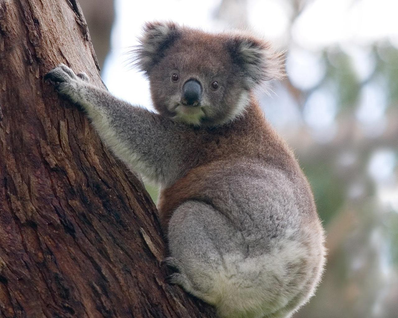 Koala tail - photo#24
