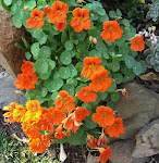 Nasturtiums, from my garden