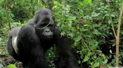 In het Nationaal park Virunga worden veel diersoorten die in leefgebied worden aangetast, beschermd. Het meest bekend zijn de extreem zeldzame berggorilla's.