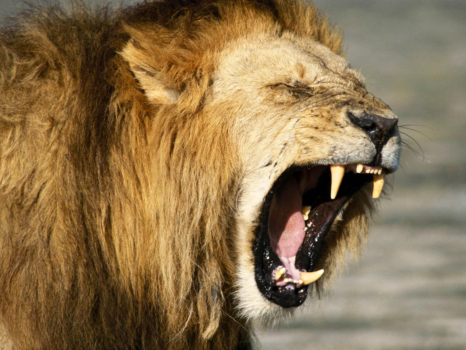 wallpaper: lion roar hd wallpaper