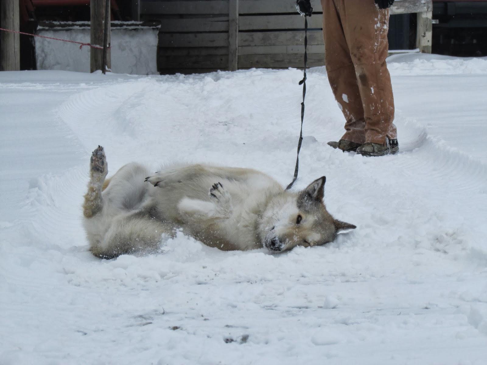 wolfdog, wolf dog, wolf hybrid, wolf dog hybrid
