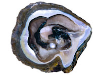 pearly oyster shell