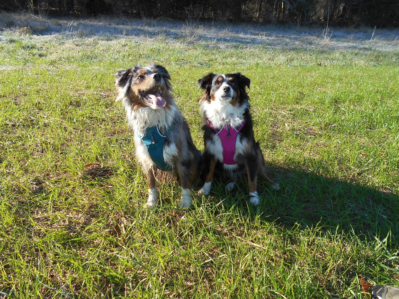 Raising a Mini Aussie: Ruff Front Range Harness Review