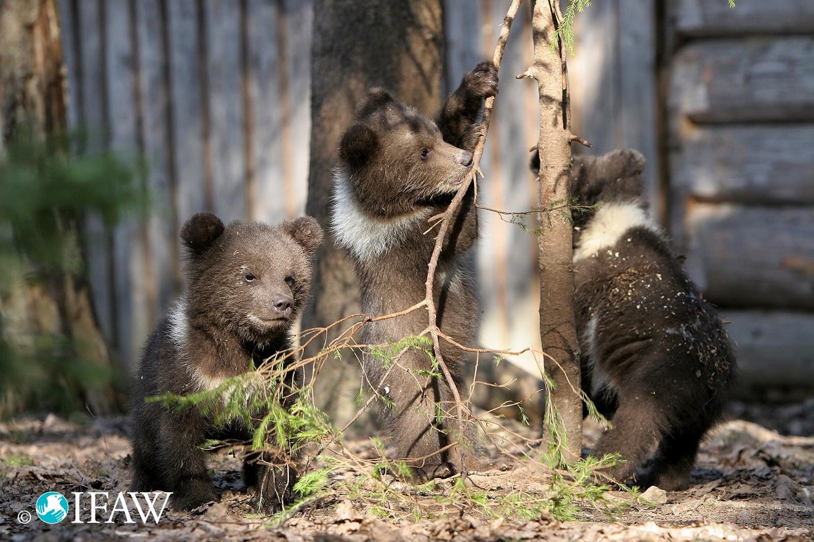 Orphan Bears Cubs