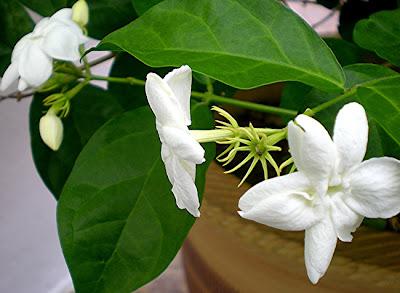 bunga melur