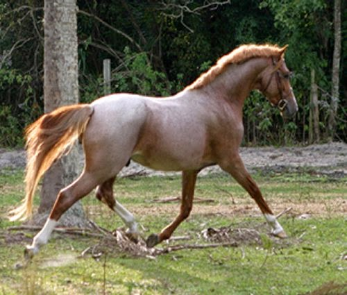 Strawberry Roan Horses picture 1