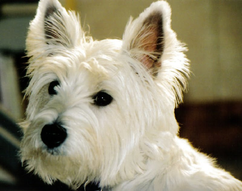 Whitney S Adventures In Dogland West Highland White Terrier