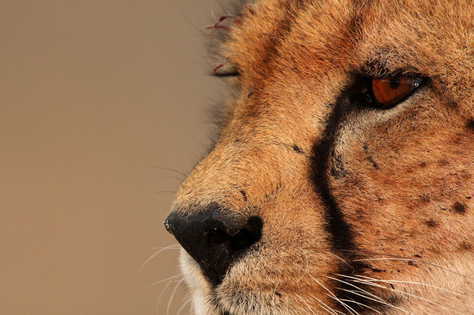 Are Cheetahs The Only Big Cat That Can Purr