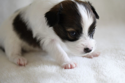 Papillon Puppy Pictures