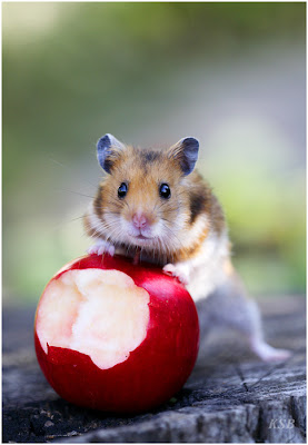 foto rato com maçã