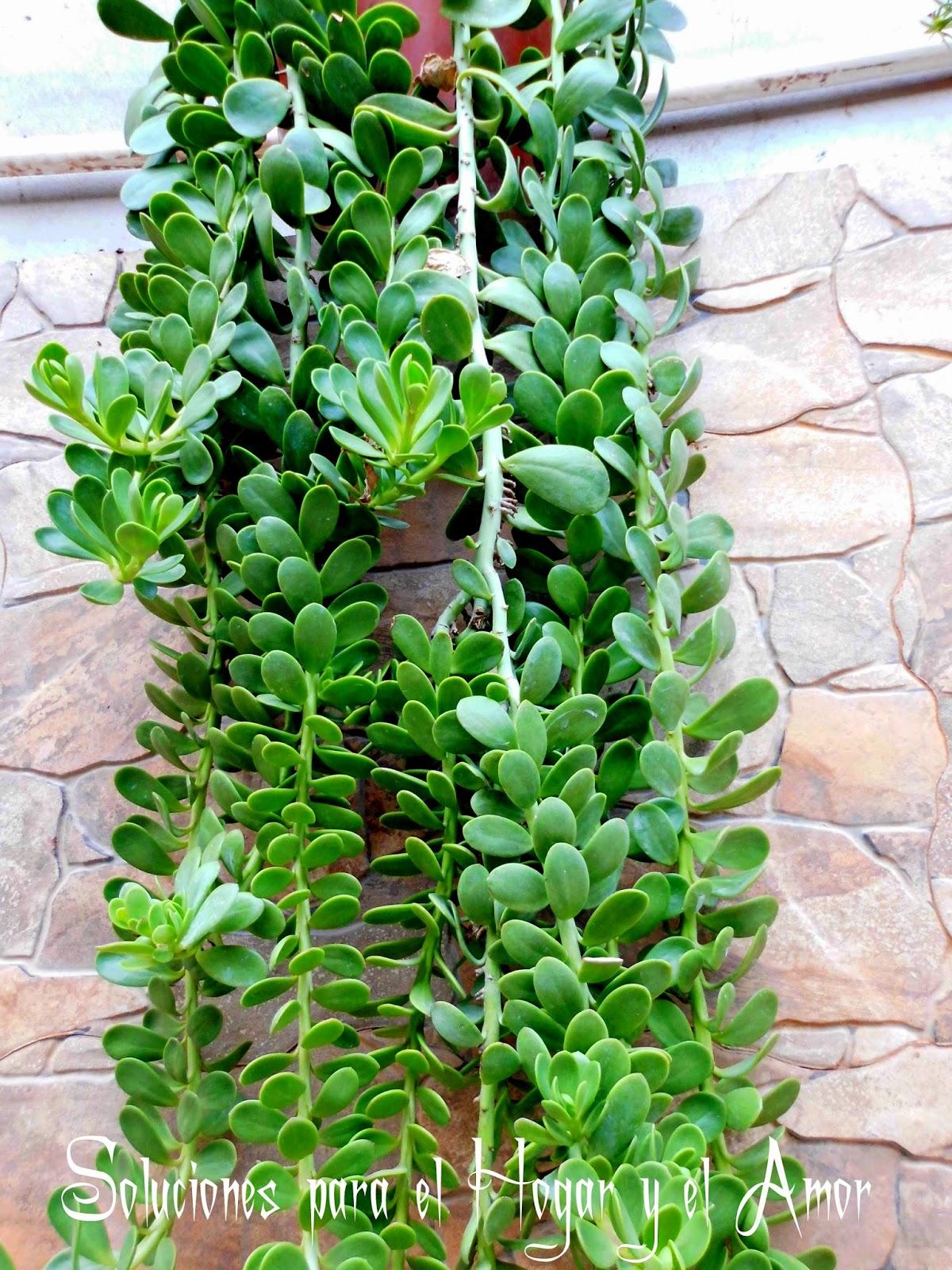 Plantas y Flores, planta colgante