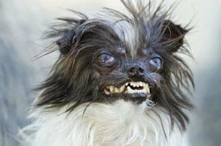 peanut o cão mais feio do mundo