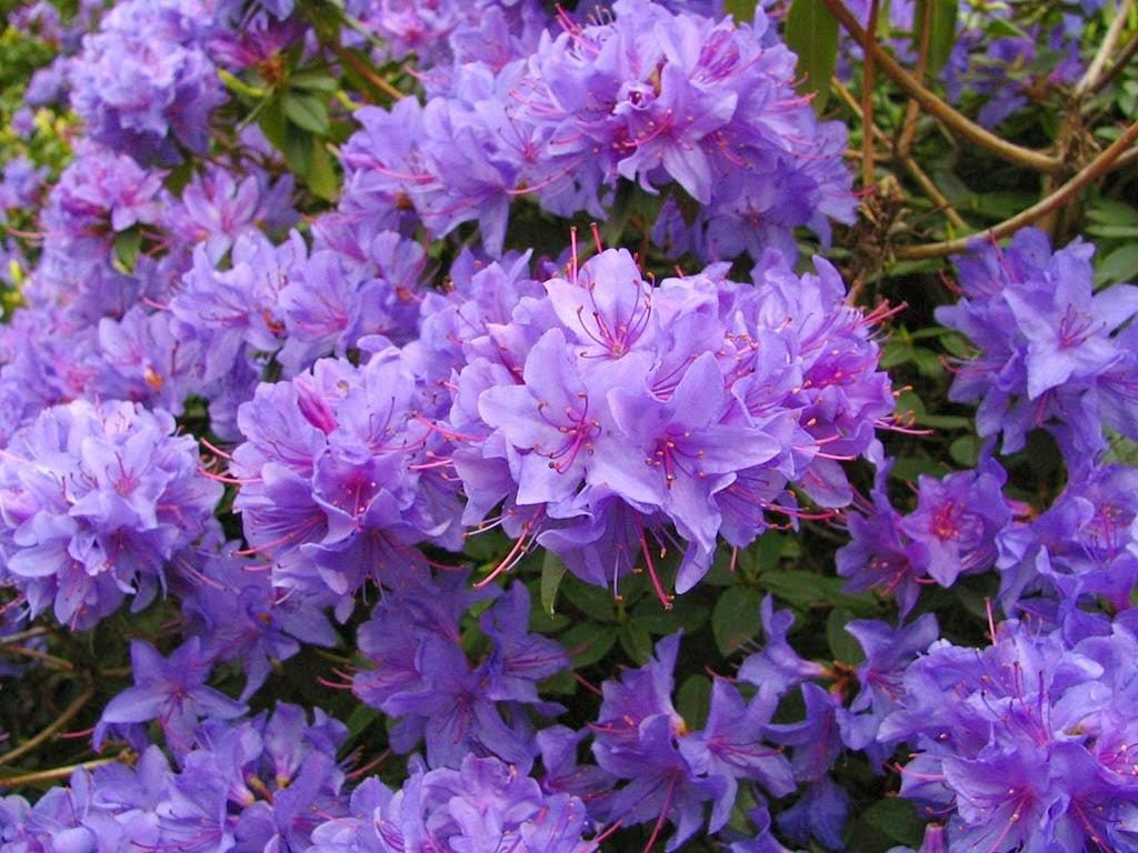 Blossoms azalea for The azalea
