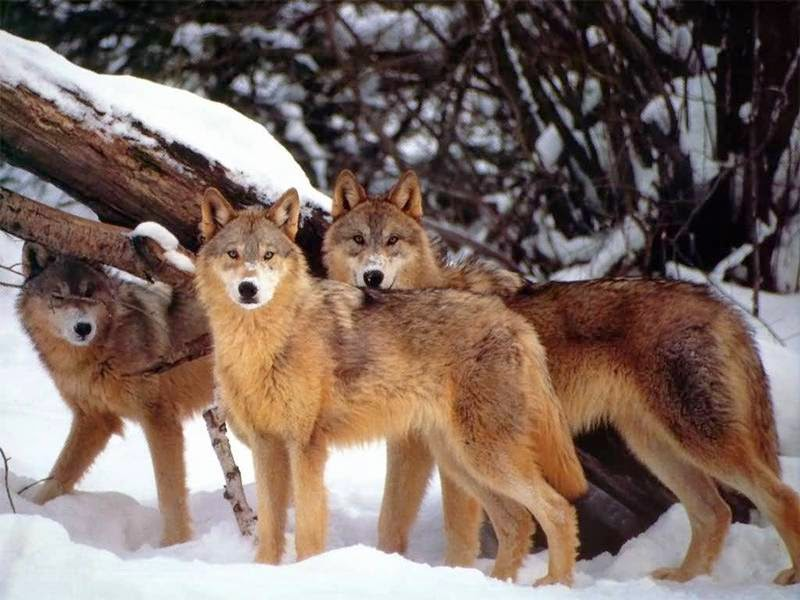 How the Reintroduction of Wolves Has Literally Changed the Landscape of Yellowstone