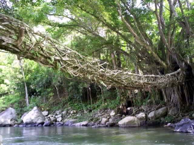 Jembatan akar di Kabupaten Pessel, Sumbar.