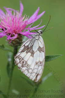 Papillon demi-deuil et fleur rose