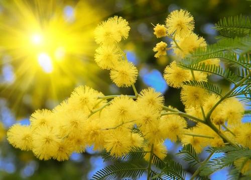 beautiful acacia yellow
