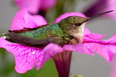 "Hummingbird: ""Oh please no one disturb me when I am sleeping and relaxing on my cozy flower bed!"""