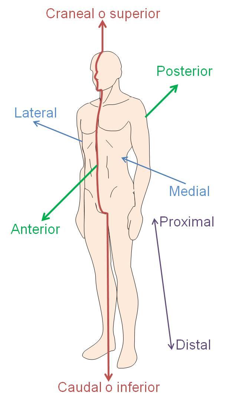 Anatomía aplicada: UNIDAD 8: PRODUCCIÓN DEL MOVIMIENTO