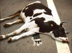 Cow Sleeping Middle of Road Funny