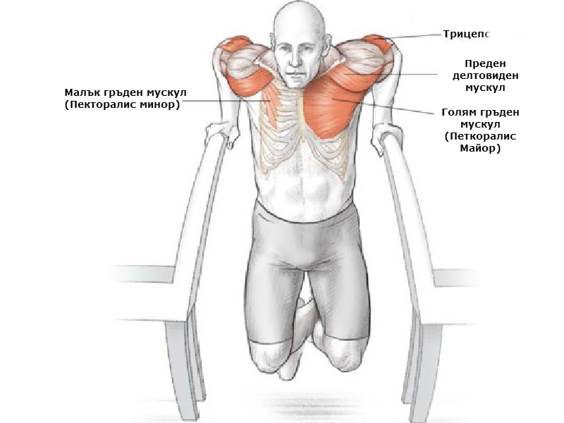 Кои мускули вземат участие при изпълнението на кофички