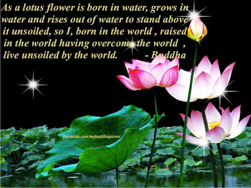 Buddhas dharma as a lotus flower is born in water grows in water as a lotus flower is born in water grows in water and rises out of water to stand above it unsoiled so i born in the world raised in the world having mightylinksfo Image collections