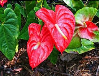 Jardineria: Catalogo de Plantas: Anthurium andreanum