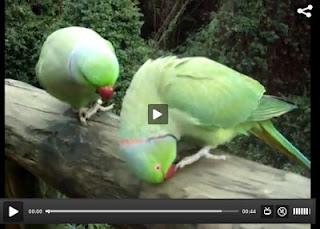 Dua Burung Ini Saling Bercakap