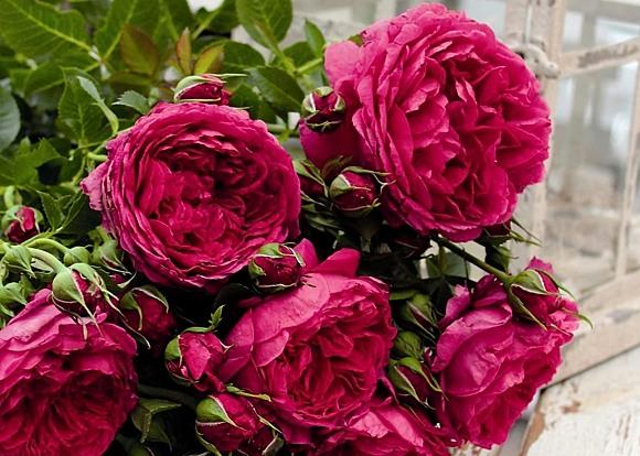 Soul rose сорт розы фото