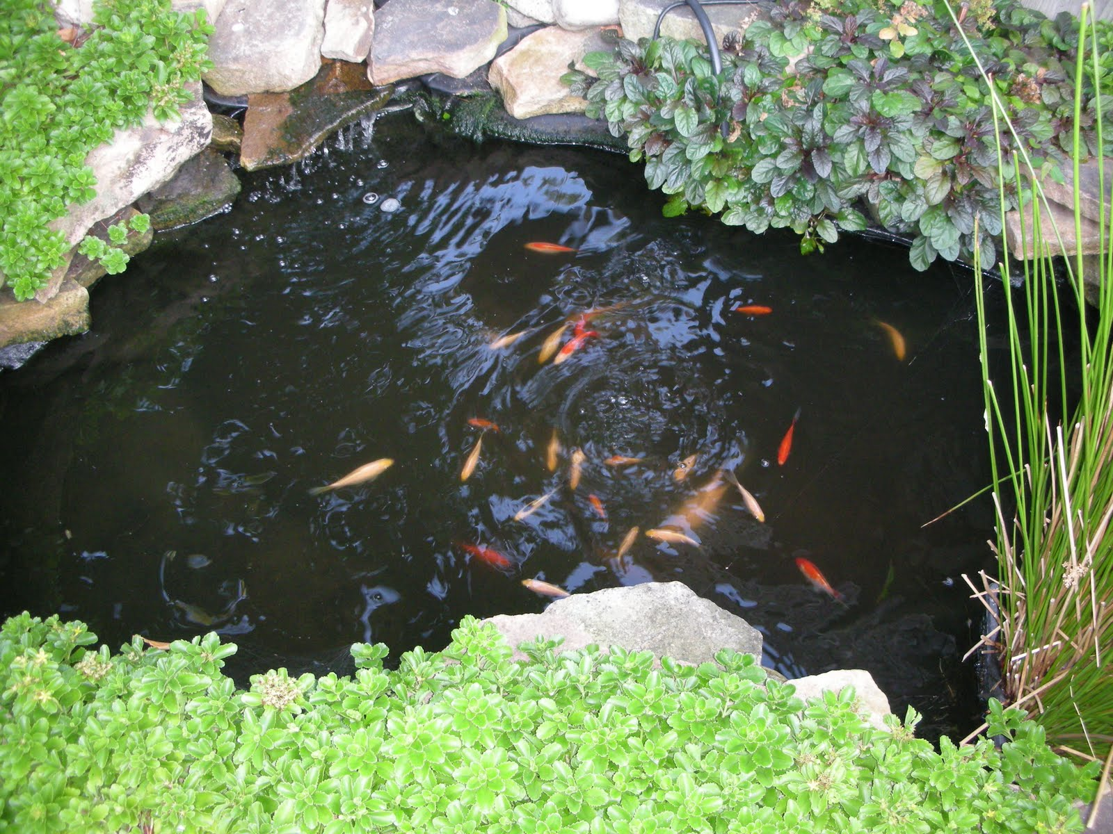 Swoon Style And Home Slice Of Life The Koi Fish Pond