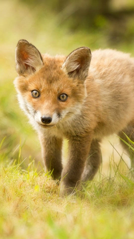 Cute Fox Cub Galaxy Note HD Wallpaper