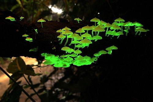 10 Hewan Bercahaya ( Bioluminesensi ) Yang Mengagumkan