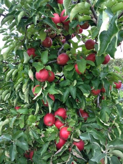 jonagold apples baking