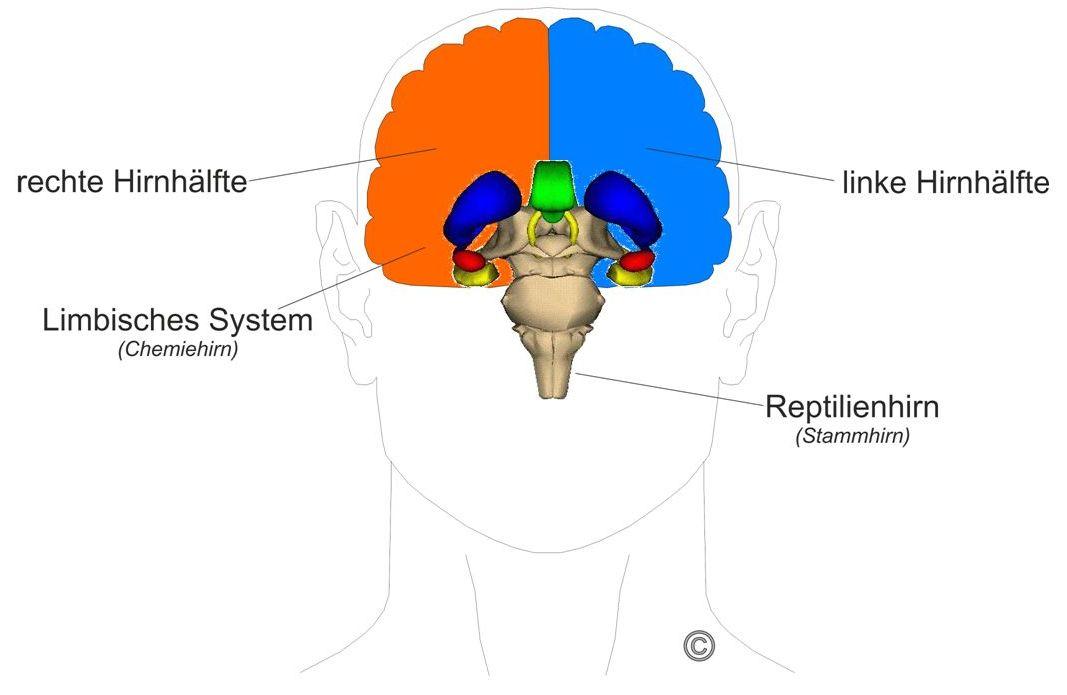 Großartig Leeres Gehirn Diagramm Bilder - Anatomie Ideen - finotti.info